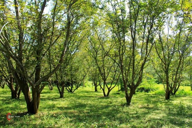 Thủ phủ hạt dẻ ở Cao Bằng vào mùa thu hoạch - 1