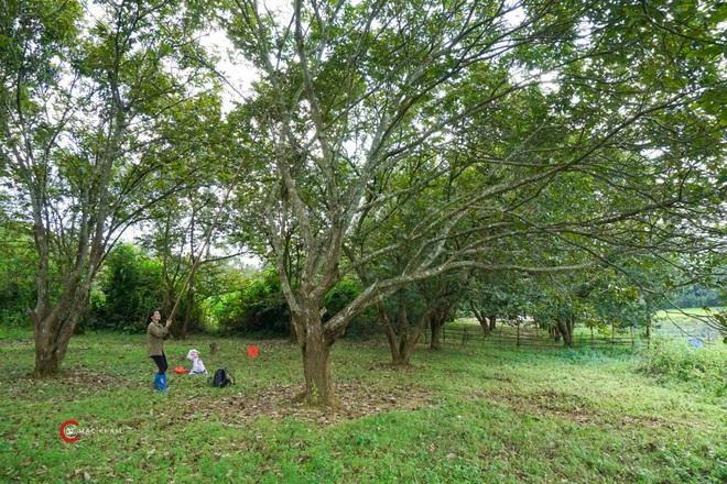 Thủ phủ hạt dẻ ở Cao Bằng vào mùa thu hoạch - 3