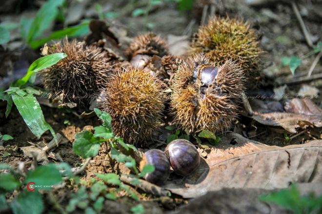 Thủ phủ hạt dẻ ở Cao Bằng vào mùa thu hoạch - 6