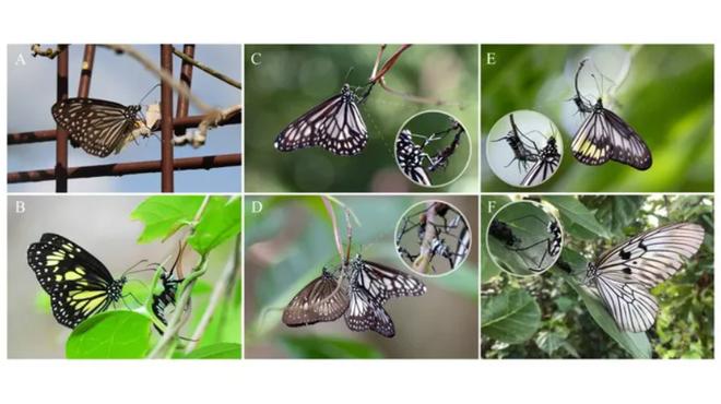 Phát hiện hành vi ghê rợn của loài bướm - 1