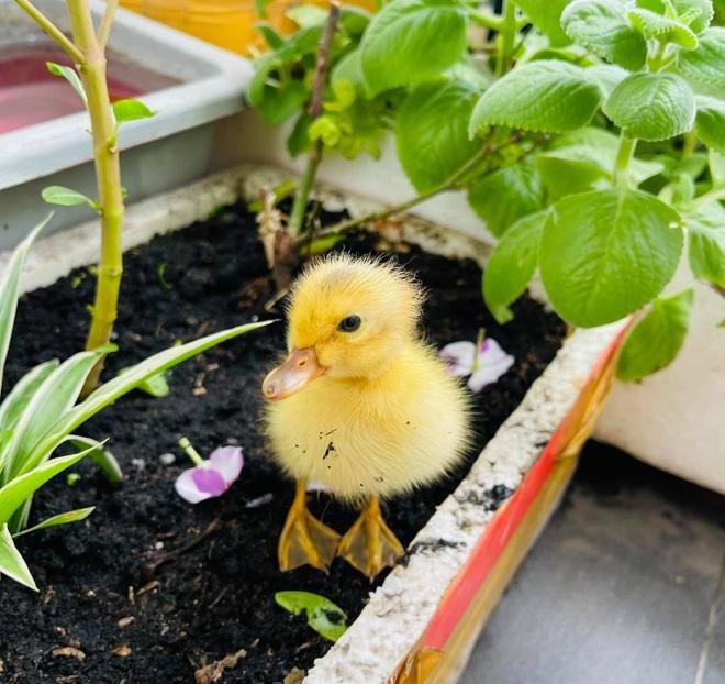 Trào lưu ấp trứng, nuôi vịt làm thú cưng cho con trong mùa dịch - 1