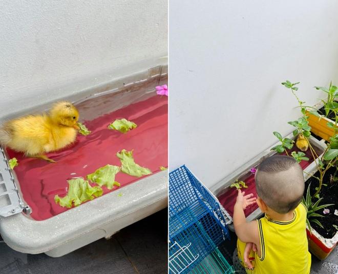 Trào lưu ấp trứng, nuôi vịt làm thú cưng cho con trong mùa dịch - 2