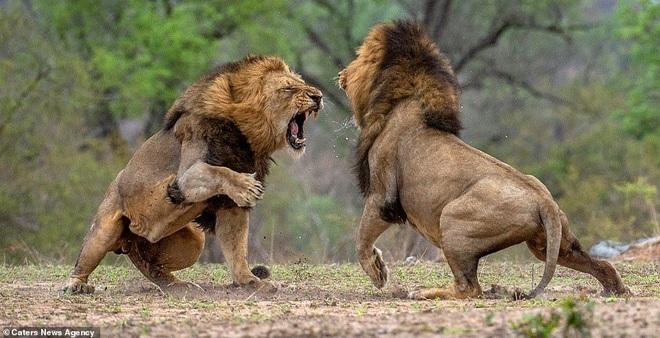 Đả bại con đầu đàn, sư tử đực vẫn bị sư tử cái cào rách mặt - 1