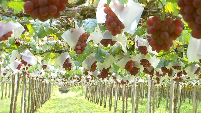 Kỹ thuật trồng nho đắt đỏ nhất thế giới của người Nhật - 1