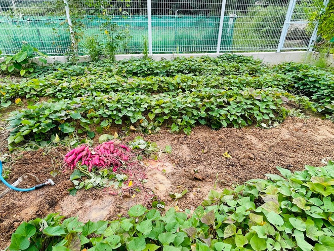 Mẹ Việt tự cuốc đất trồng rau, làm vườn hữu cơ  tại Hàn Quốc - 2