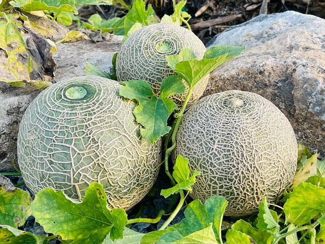 Mẹ Việt tự cuốc đất trồng rau, làm vườn hữu cơ  tại Hàn Quốc - 6