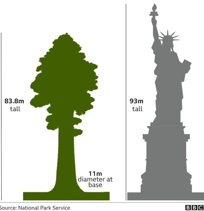 Lo giặc lửa, Mỹ bọc nhôm bảo vệ cây lớn nhất thế giới - 2