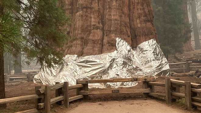 Lo giặc lửa, Mỹ bọc nhôm bảo vệ cây lớn nhất thế giới - 1