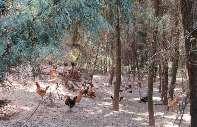 Vợ chồng thạc sĩ nghỉ việc về nuôi gà thả đồi, thu nhập 3,5 tỷ đồng/năm - 3