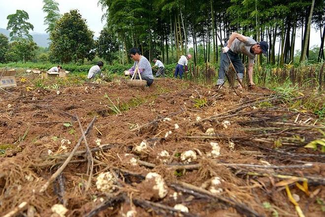 Bỏ phố về quê làm nghề trồng hoa loa kèn, doanh thu chục tỷ đồng mỗi năm - 2