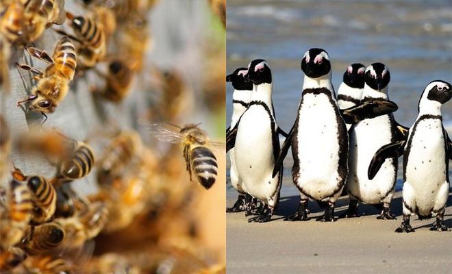 Ong đốt chết 63 con chim cánh cụt quý hiếm - 1