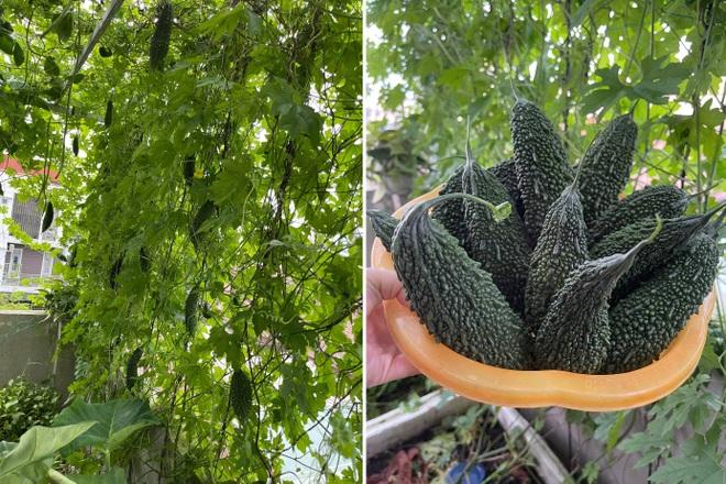 Vườn rau trái trồng trong thùng xốp xanh mướt, trĩu quả của cô giáo mầm non - 7