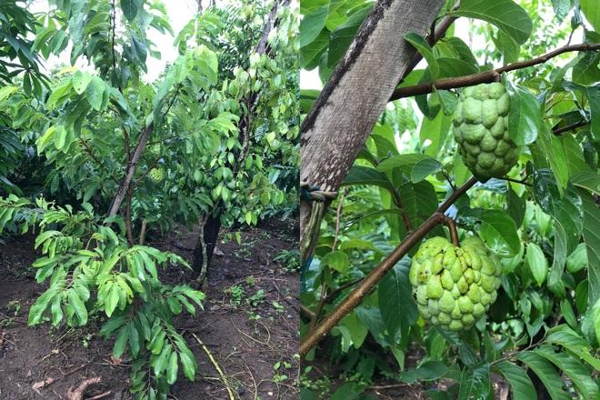 Gia đình Đắk Lắk làm vườn trái cây rộng 500m2 cho các con ăn thỏa thích - 6