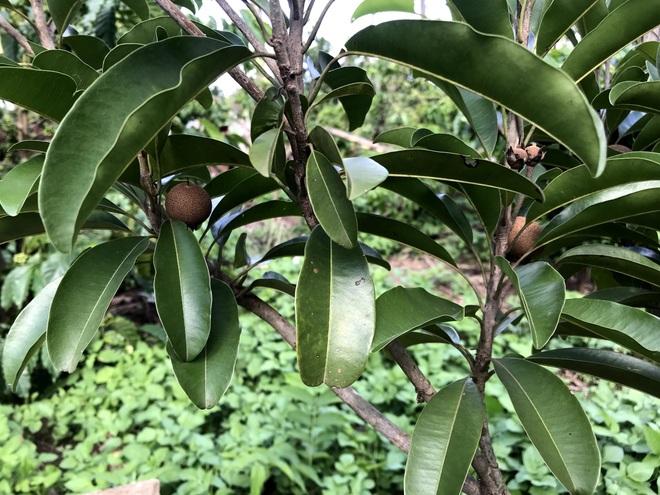 Gia đình Đắk Lắk làm vườn trái cây rộng 500m2 cho các con ăn thỏa thích - 10