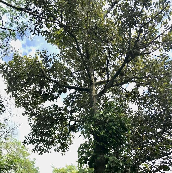 Gia đình Đắk Lắk làm vườn trái cây rộng 500m2 cho các con ăn thỏa thích - 8