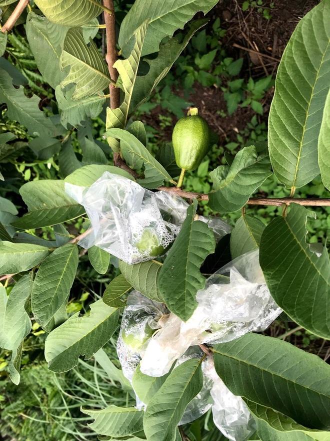 Gia đình Đắk Lắk làm vườn trái cây rộng 500m2 cho các con ăn thỏa thích - 9