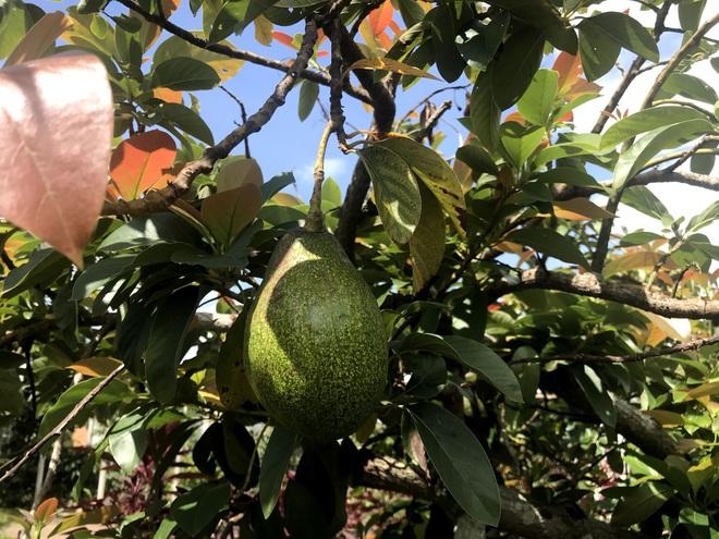 Gia đình Đắk Lắk làm vườn trái cây rộng 500m2 cho các con ăn thỏa thích - 4
