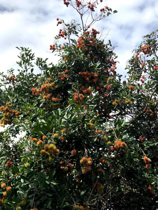 Gia đình Đắk Lắk làm vườn trái cây rộng 500m2 cho các con ăn thỏa thích - 5
