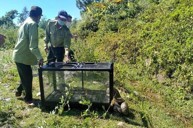 Trăn gấm quý hiếm nặng 17 kg đi lạc giữa phố Đà Nẵng - 1