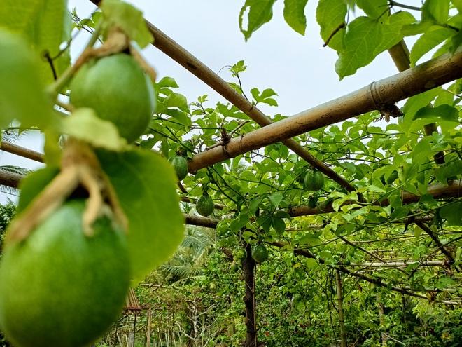 Bỏ phố về quê, cặp vợ chồng Bến Tre làm khu vườn 500m2 tràn ngập rau trái - 6