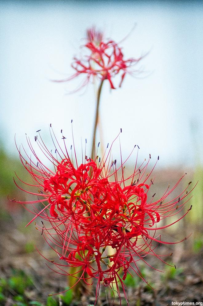 Cảnh sắc đẹp như tranh vẽ của mùa hoa bỉ ngạn nở đỏ rực trời Nhật Bản - 1