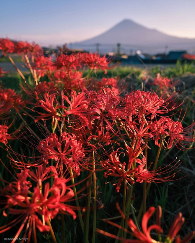Cảnh sắc đẹp như tranh vẽ của mùa hoa bỉ ngạn nở đỏ rực trời Nhật Bản - 6