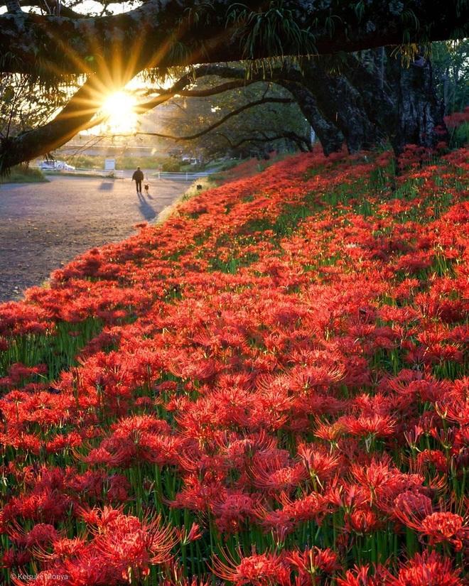 Cảnh sắc đẹp như tranh vẽ của mùa hoa bỉ ngạn nở đỏ rực trời Nhật Bản - 4