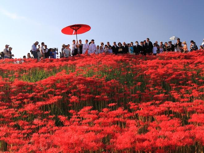 Cảnh sắc đẹp như tranh vẽ của mùa hoa bỉ ngạn nở đỏ rực trời Nhật Bản - 5