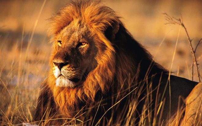 Bị sư tử háu đói tóm gọn, lợn con thoát chết thần kỳ - 2