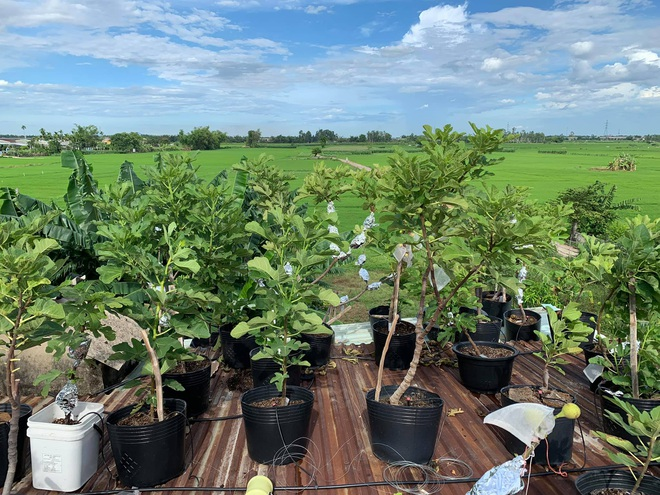 Nhiếp ảnh gia bê đất lên mái tôn, trồng vườn sung Mỹ 130 giống khác nhau - 1