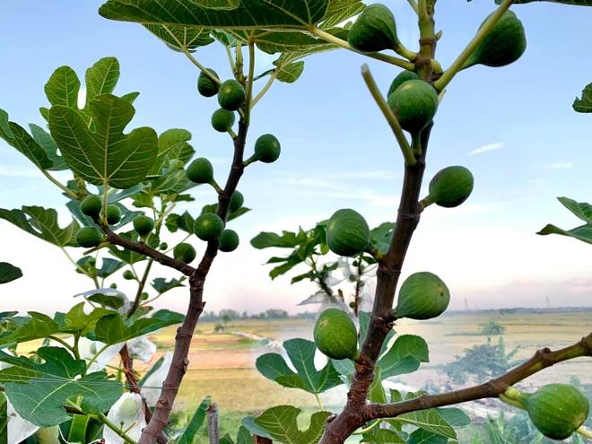 Nhiếp ảnh gia bê đất lên mái tôn, trồng vườn sung Mỹ 130 giống khác nhau - 2