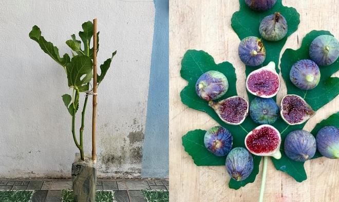 Nhiếp ảnh gia bê đất lên mái tôn, trồng vườn sung Mỹ 130 giống khác nhau - 11