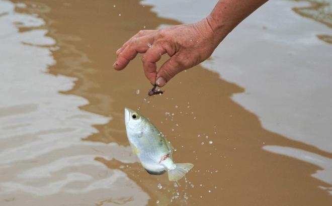 Lão nông Cần Thơ giàu lên nhờ cá thát lát và thủy quái trên sông - 6