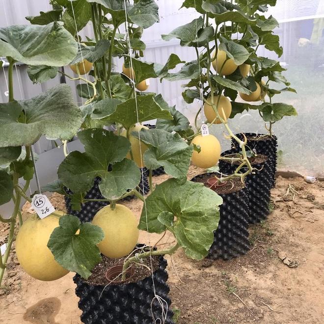 Mượn đất đồng nghiệp, vợ chồng ở Đà Nẵng làm vườn trái cây trăm gốc - 3