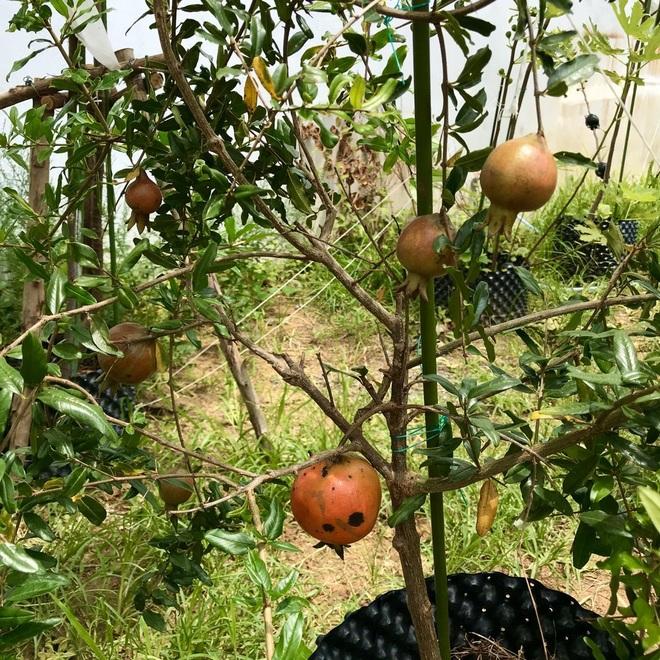 Mượn đất đồng nghiệp, vợ chồng ở Đà Nẵng làm vườn trái cây trăm gốc - 7