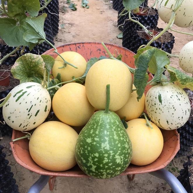 Mượn đất đồng nghiệp, vợ chồng ở Đà Nẵng làm vườn trái cây trăm gốc - 13