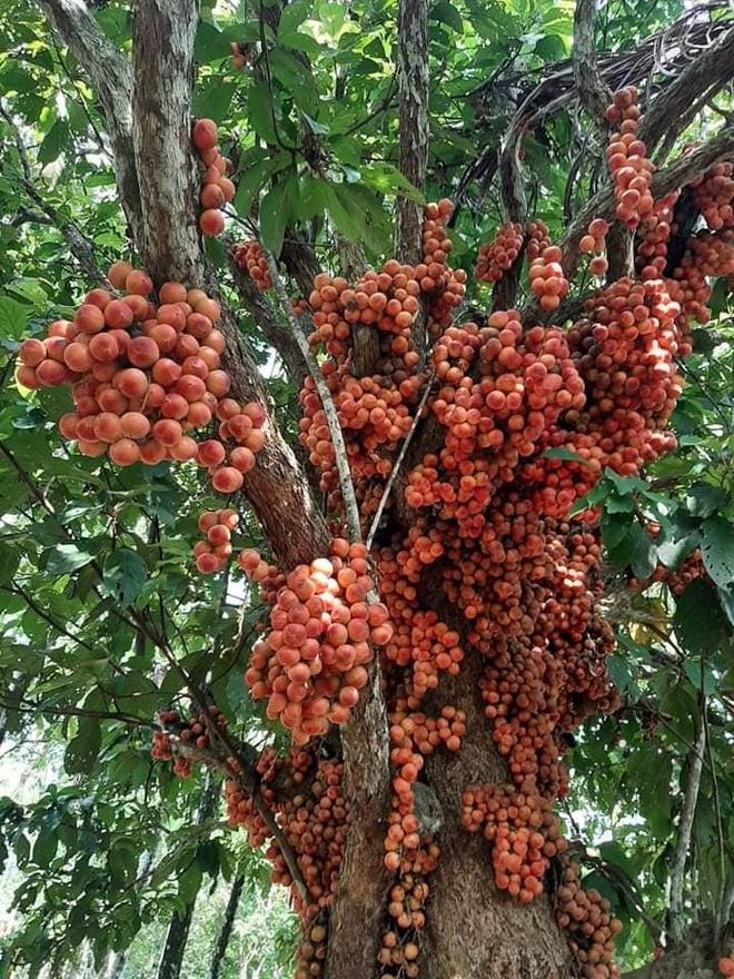 Loài cây cho quả rực rỡ, tưởng trồng chơi mà thu nhập thật - 2