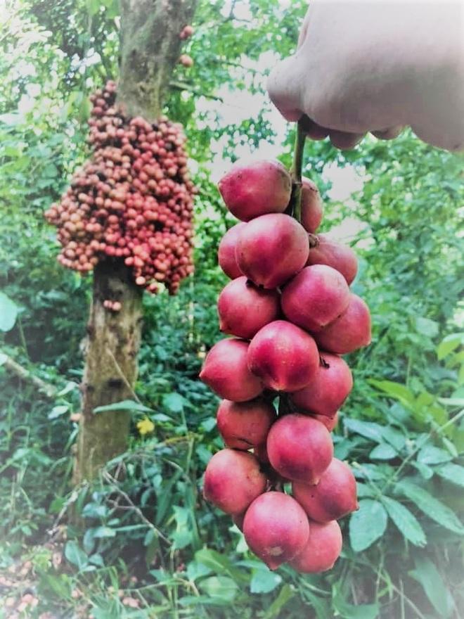 Loài cây cho quả rực rỡ, tưởng trồng chơi mà thu nhập thật - 3