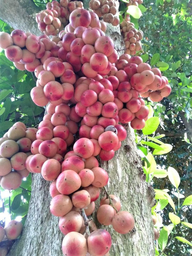Loài cây cho quả rực rỡ, tưởng trồng chơi mà thu nhập thật - 4