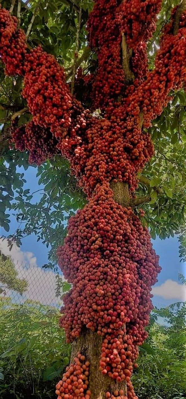 Loài cây cho quả rực rỡ, tưởng trồng chơi mà thu nhập thật - 5
