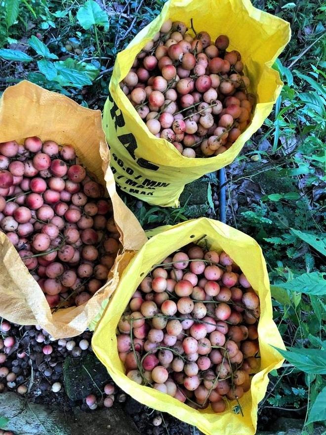 Loài cây cho quả rực rỡ, tưởng trồng chơi mà thu nhập thật - 6
