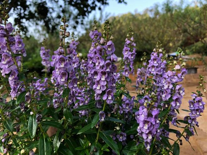 Mắc kẹt ở Mộc Châu do Hà Nội giãn cách, gia đình làm vườn đẹp mê - 7