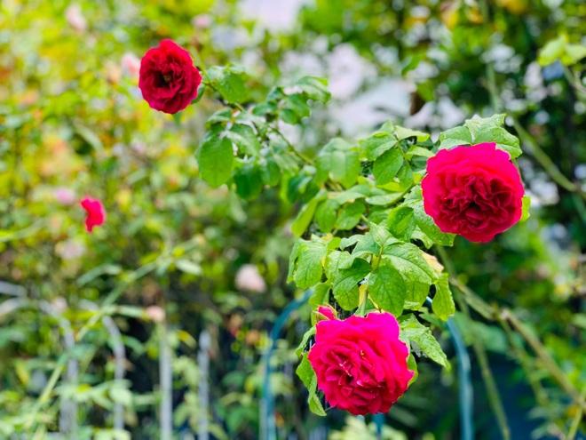 Giảng viên về hưu làm vườn nhiệt đới, trồng hoa hồng tặng vợ ở TPHCM - 10