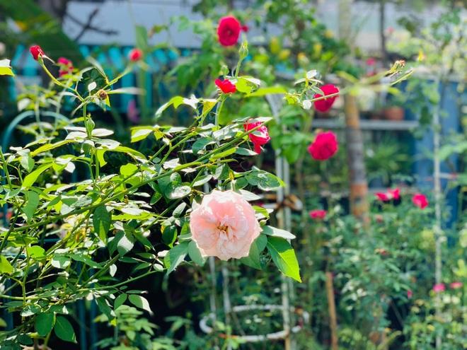 Giảng viên về hưu làm vườn nhiệt đới, trồng hoa hồng tặng vợ ở TPHCM - 11