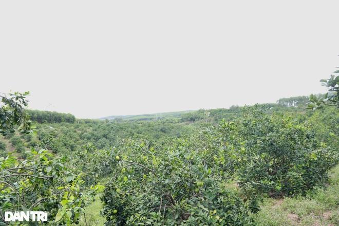 Nông dân khốn khổ tìm đầu ra cho hàng trăm tấn cam đặc sản - 3