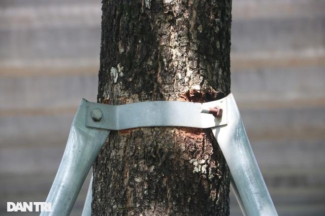 Cận cảnh gông cùm siết chặt hàng cây xanh đang tuổi lớn trên đường Hà Nội - 4