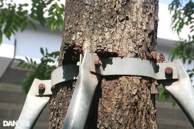 Cận cảnh gông cùm siết chặt hàng cây xanh đang tuổi lớn trên đường Hà Nội - 9