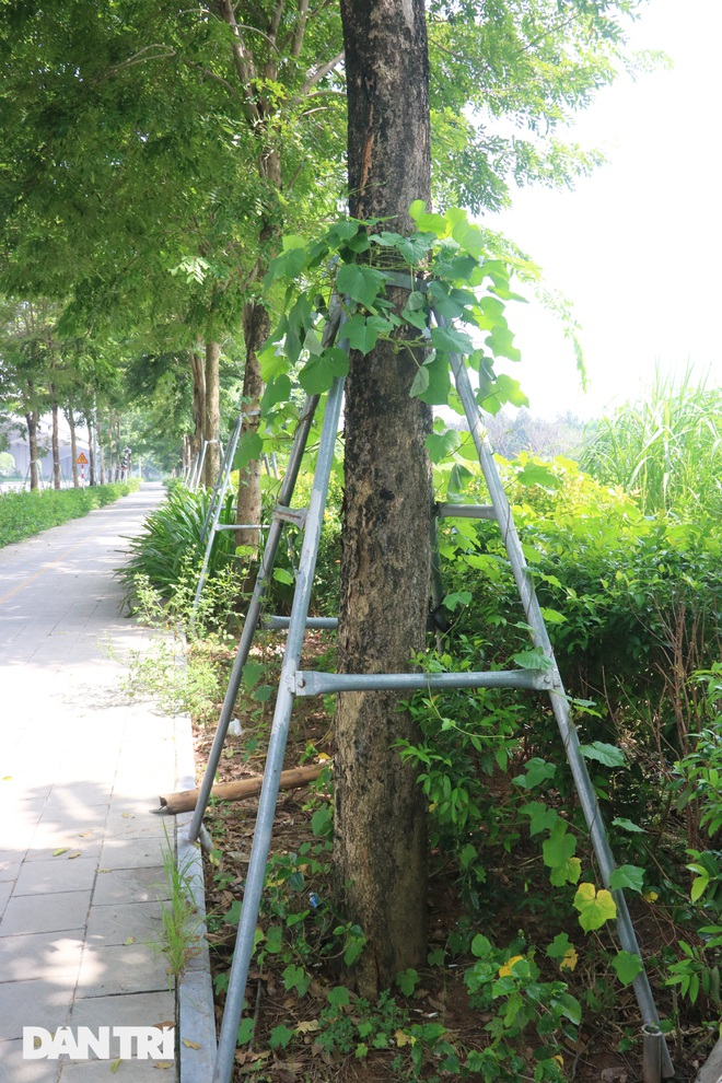 Cận cảnh gông cùm siết chặt hàng cây xanh đang tuổi lớn trên đường Hà Nội - 11