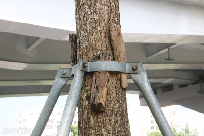 Cận cảnh gông cùm siết chặt hàng cây xanh đang tuổi lớn trên đường Hà Nội - 8