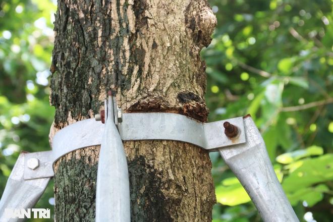 Cận cảnh gông cùm siết chặt hàng cây xanh đang tuổi lớn trên đường Hà Nội - 3